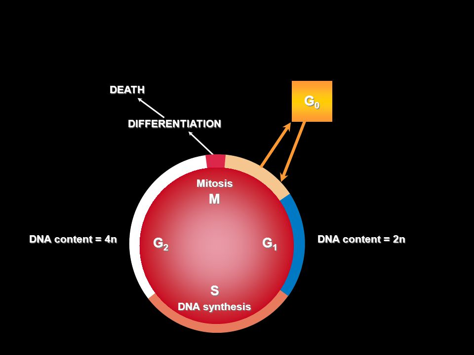 DEATH DIFFERENTIATION DNA content = 2n MitosisMS DNA synthesis G2 G1G2 G1G2 G1G2 G1 G0G0G0G0 DNA content = 4n The Cell Cycle