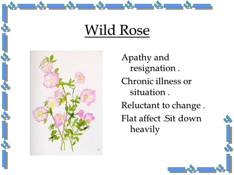 Wild Rose Apathy and resignation. Chronic illness or situation. Reluctant to change. Flat affect.Sit down heavily