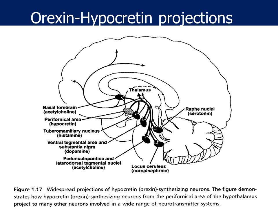 SCN clock DA (+) Histamine (+) NA (+) 5HT (+) Orexin / Hypocretin Monoamines controlled by Orexin ~