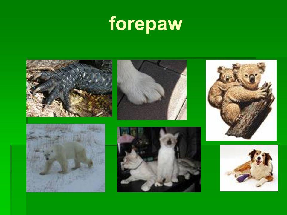 forepaw