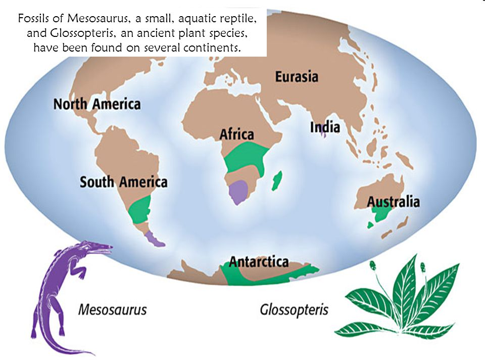 < BackNext >PreviewMain Fossils of Mesosaurus, a small, aquatic reptile, and Glossopteris, an ancient plant species, have been found on several contin