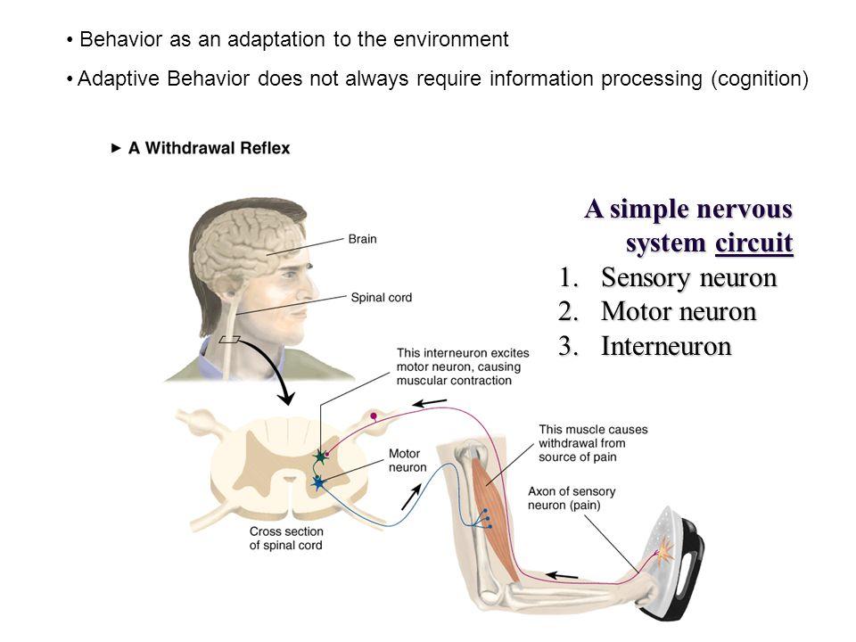 A simple nervous system circuit 1.Sensory neuron 2.Motor neuron 3.Interneuron Behavior as an adaptation to the environment Adaptive Behavior does not