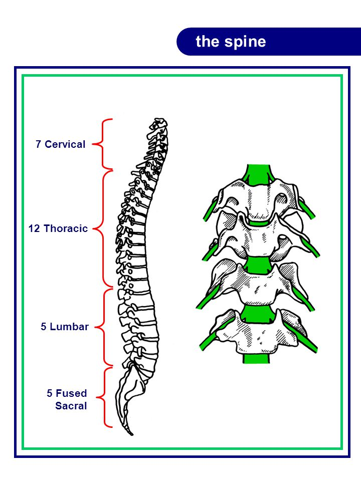 the spine 5 Fused Sacral 5 Lumbar 12 Thoracic 7 Cervical