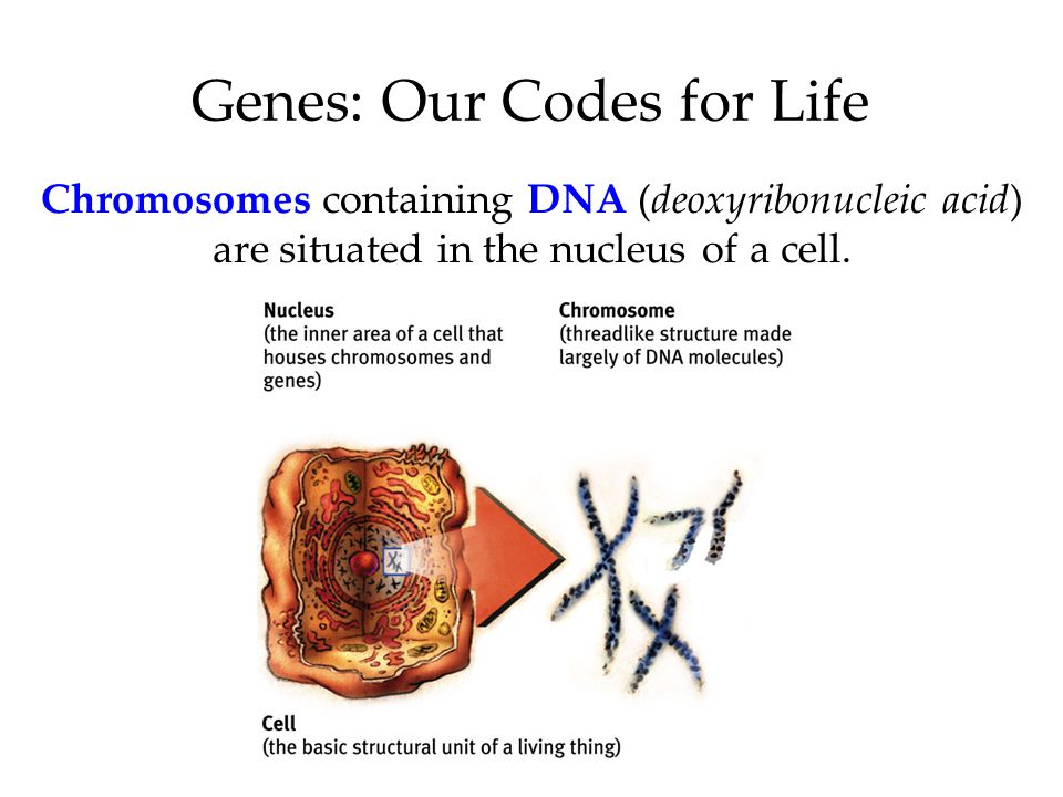 Chromosomes containing DNA (deoxyribonucleic acid) are situated in the nucleus of a cell.