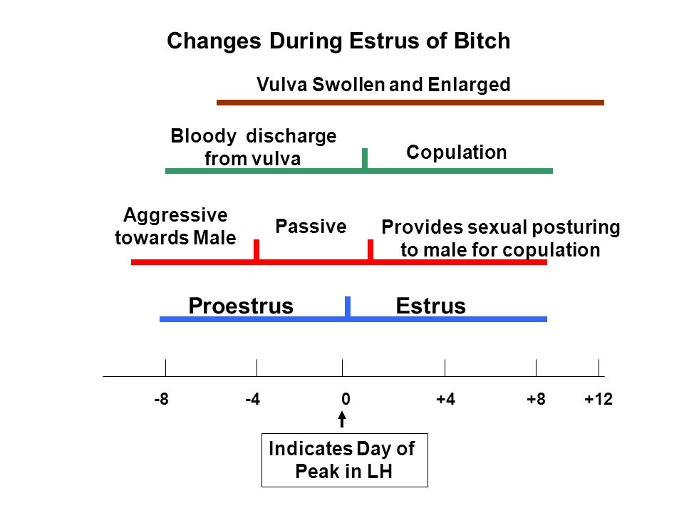Changes During Estrus of Bitch -8 -4 0 +4 +8 +12 Proestrus Estrus Aggressive towards Male Passive Provides sexual posturing to male for copulation Bloody discharge from vulva Copulation Vulva Swollen and Enlarged Indicates Day of Peak in LH