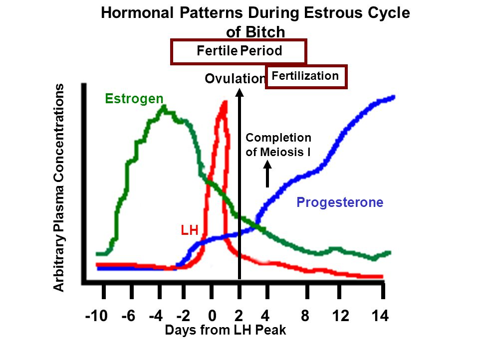 -10 -6 -4 -2 0 2 4 8 12 14 Hormonal Patterns During Estrous Cycle of Bitch Arbitrary Plasma Concentrations Days from LH Peak Estrogen LH Progesterone
