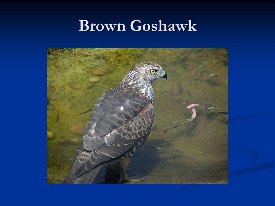 Brown Goshawk