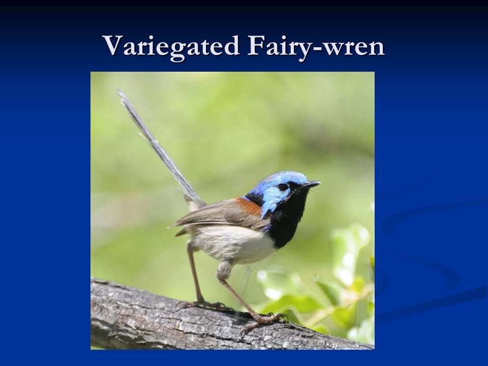 Variegated Fairy-wren