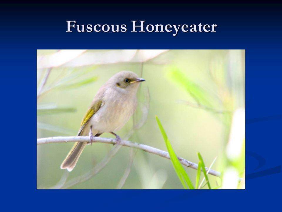 Fuscous Honeyeater