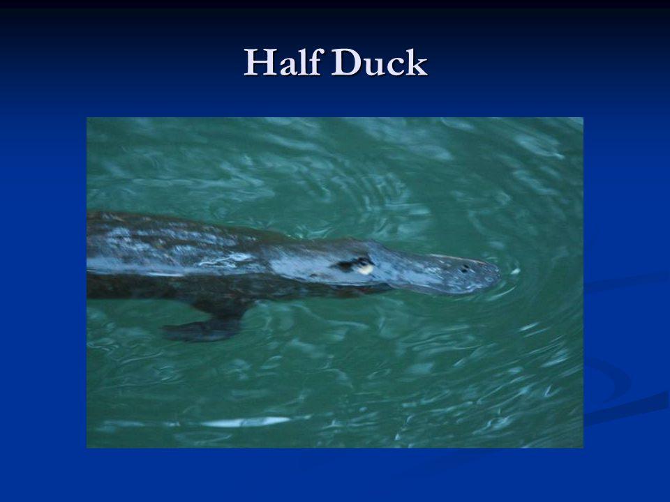 Half Duck