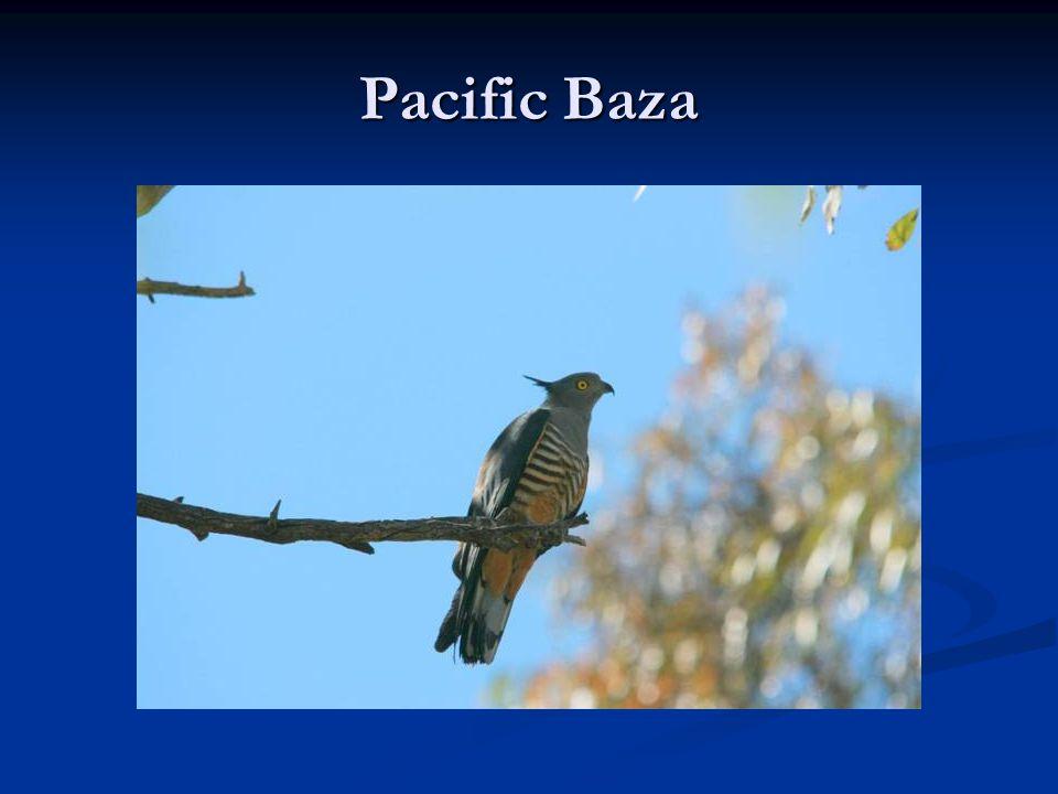 Pacific Baza