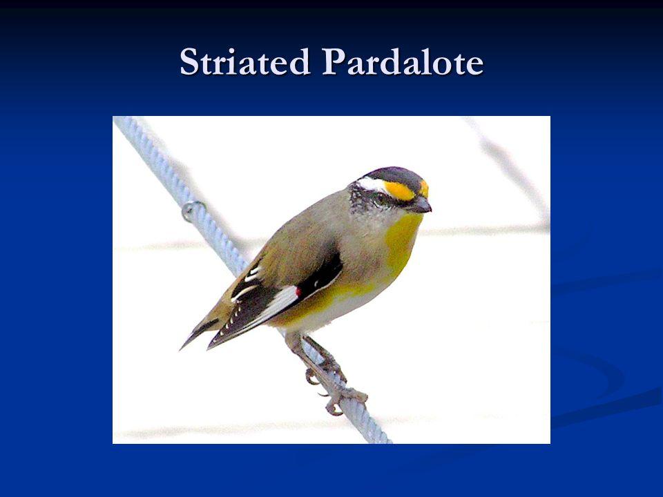 Striated Pardalote