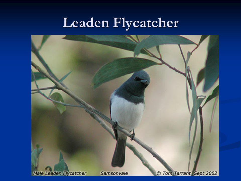 Leaden Flycatcher
