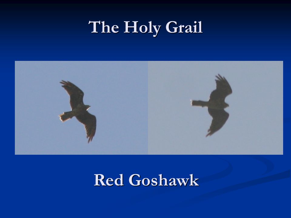 The Holy Grail Red Goshawk