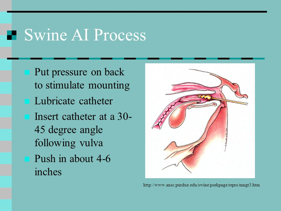 Swine AI Process Put pressure on back to stimulate mounting Lubricate catheter Insert catheter at a 30- 45 degree angle following vulva Push in about