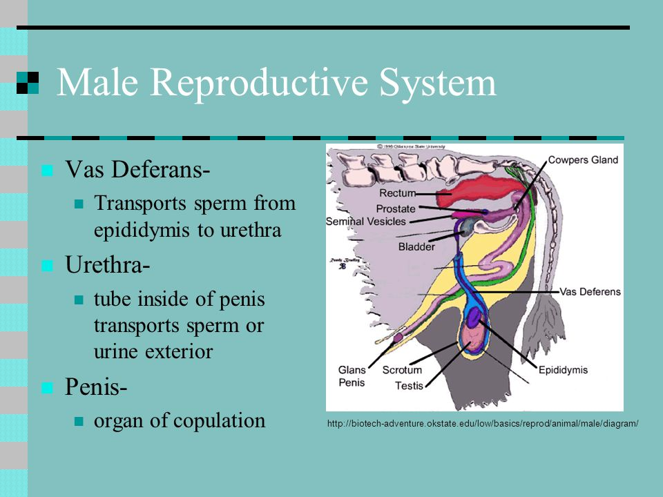 Male Reproductive System Vas Deferans- Transports sperm from epididymis to urethra Urethra- tube inside of penis transports sperm or urine exterior Pe