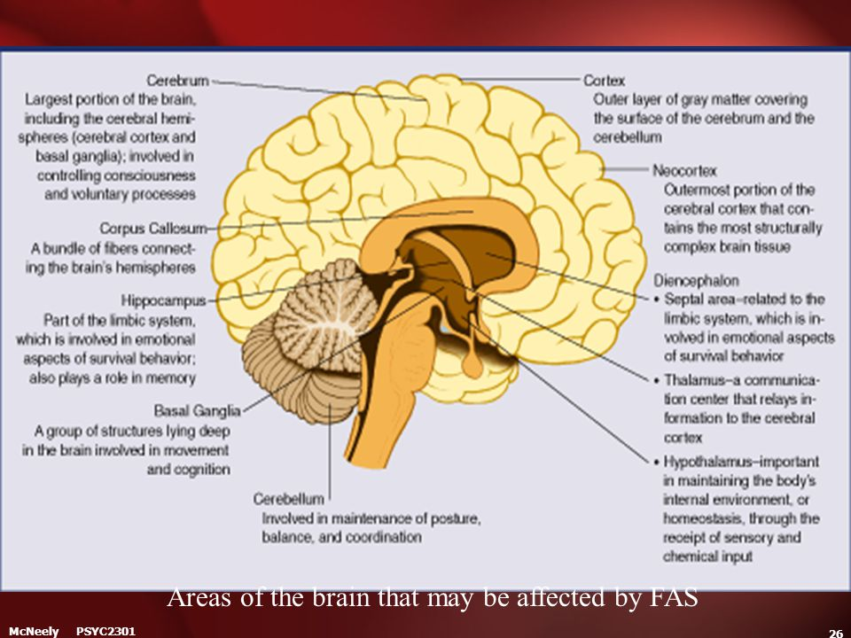 McNeely PSYC2301 26 Areas of the brain that may be affected by FAS