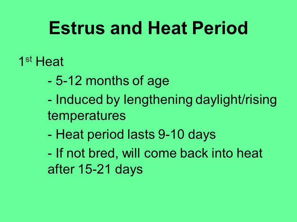 Estrus and Heat Period 1 st Heat - 5-12 months of age - Induced by lengthening daylight/rising temperatures - Heat period lasts 9-10 days - If not bred, will come back into heat after 15-21 days