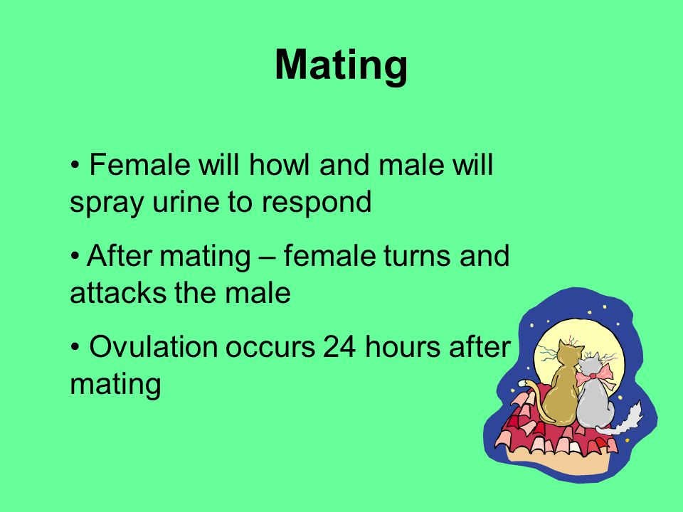 Mating Female will howl and male will spray urine to respond After mating – female turns and attacks the male Ovulation occurs 24 hours after mating