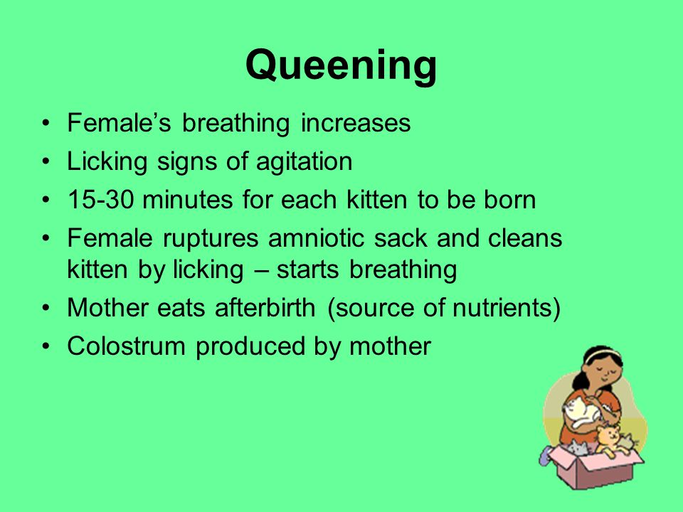 Queening Female's breathing increases Licking signs of agitation 15-30 minutes for each kitten to be born Female ruptures amniotic sack and cleans kitten by licking – starts breathing Mother eats afterbirth (source of nutrients) Colostrum produced by mother