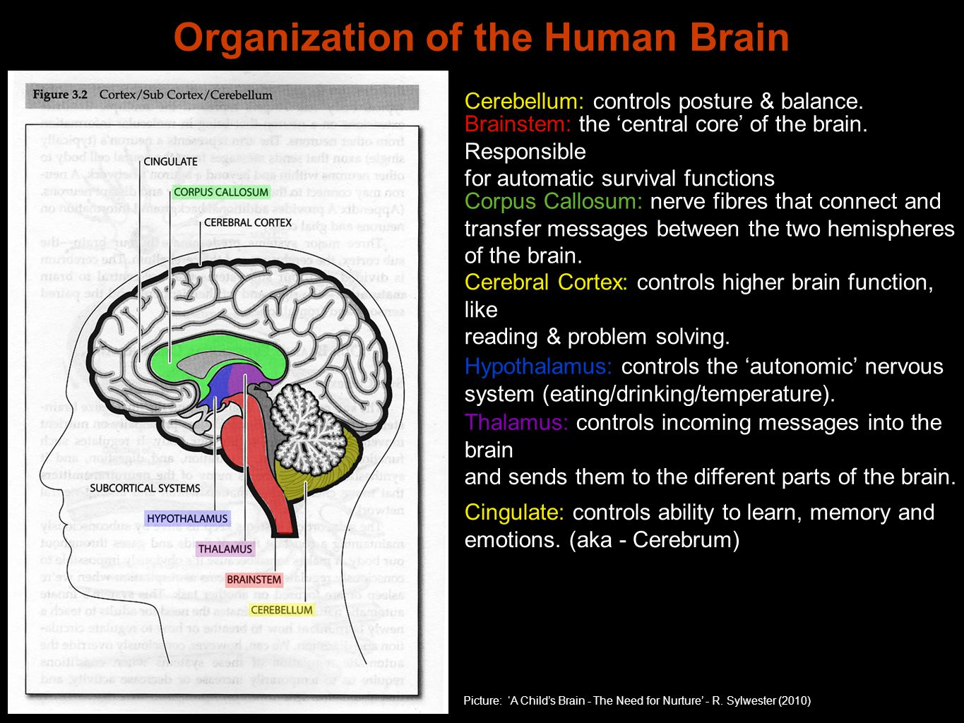 Organization of the Human Brain Picture: 'A Child's Brain - The Need for Nurture' - R. Sylwester (2010) Cerebellum: controls posture & balance. Brains