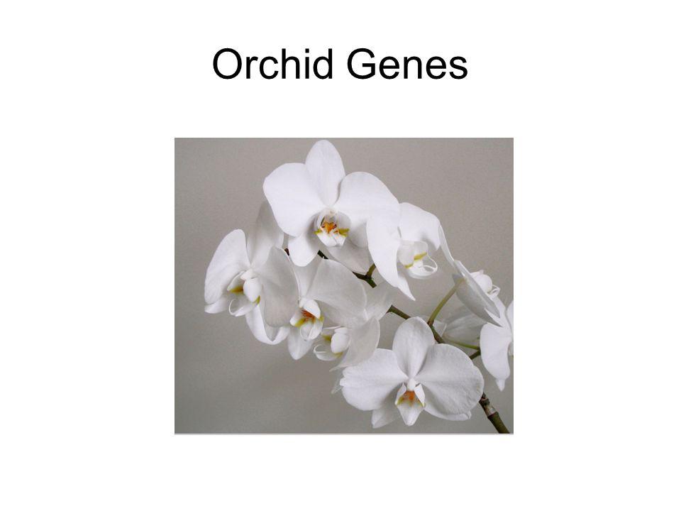 Orchid Genes
