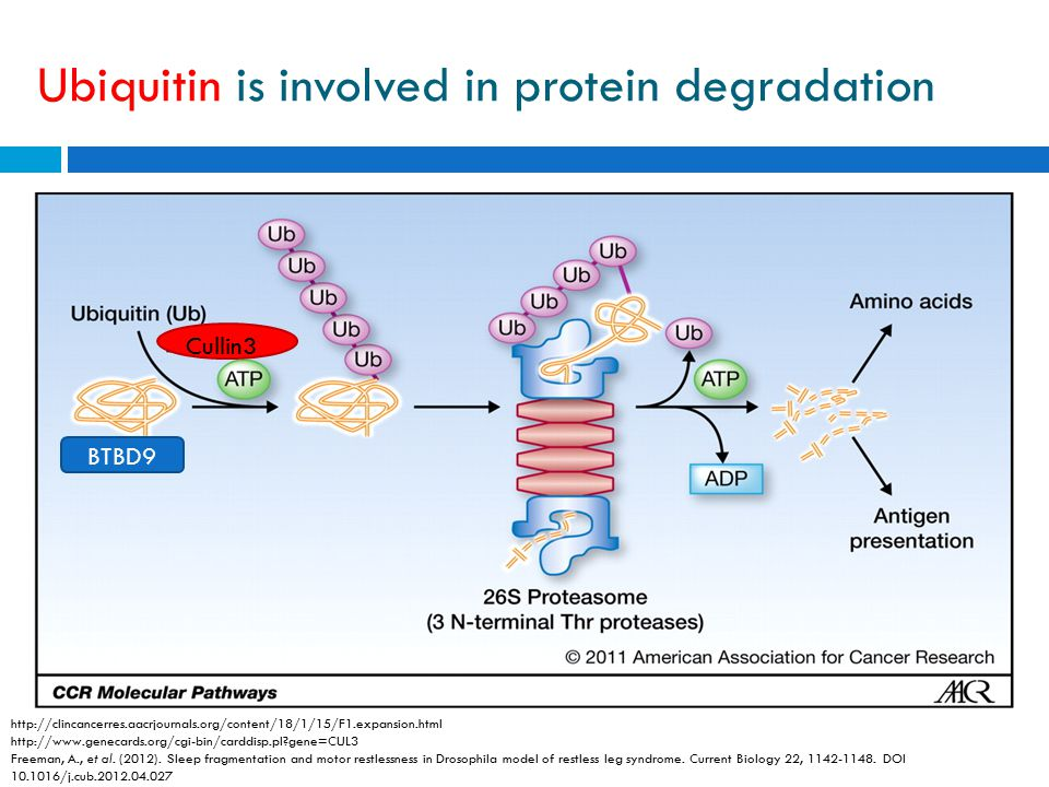 Ubiquitin is involved in protein degradation http://clincancerres.aacrjournals.org/content/18/1/15/F1.expansion.html http://www.genecards.org/cgi-bin/carddisp.pl gene=CUL3 Freeman, A., et al.