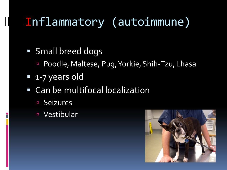 Inflammatory (autoimmune)  Small breed dogs  Poodle, Maltese, Pug, Yorkie, Shih-Tzu, Lhasa  1-7 years old  Can be multifocal localization  Seizur