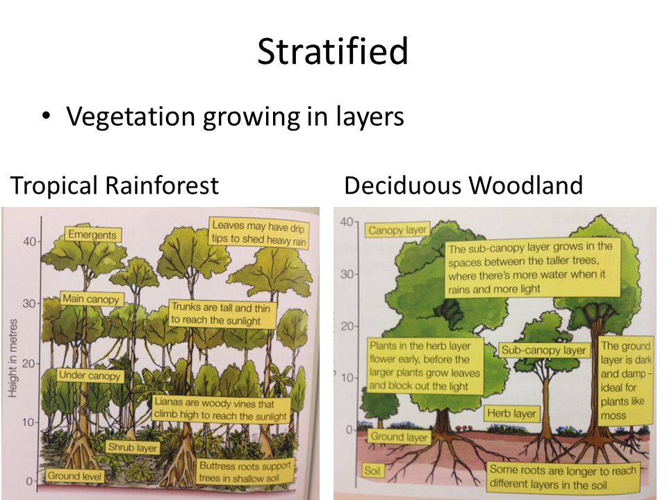 Stratified Vegetation growing in layers Tropical Rainforest Deciduous Woodland
