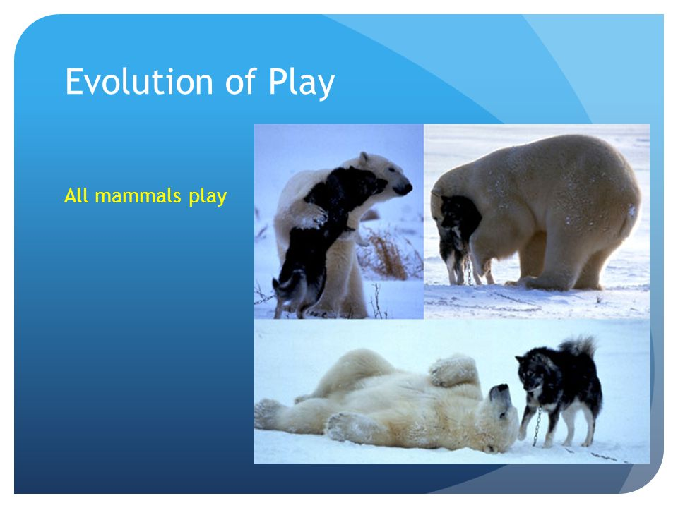 Evolution of Play All mammals play