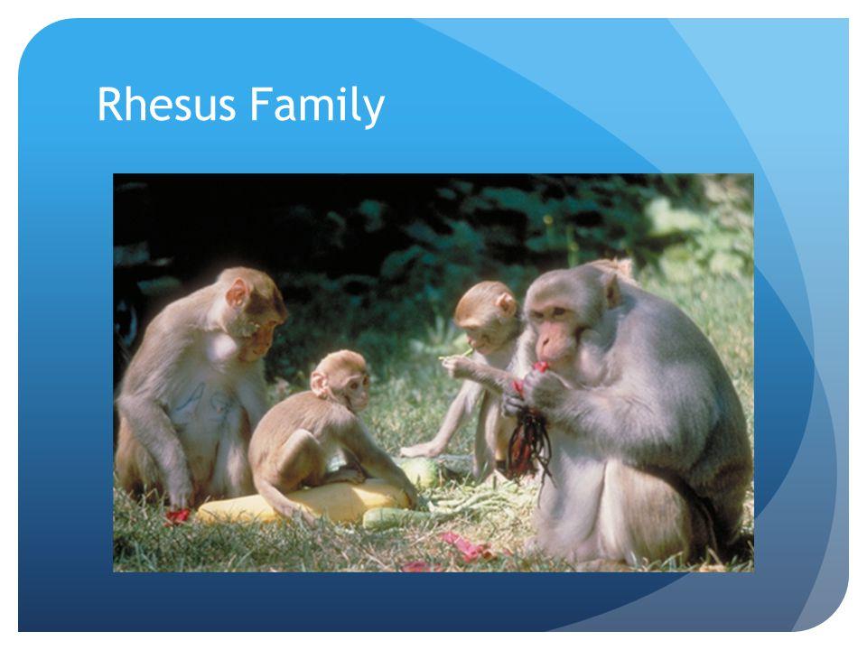 Rhesus Family