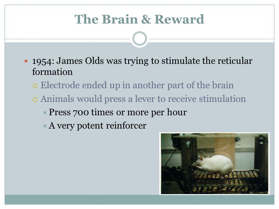 The Brain & Reward 1954: James Olds was trying to stimulate the reticular formation  Electrode ended up in another part of the brain  Animals would