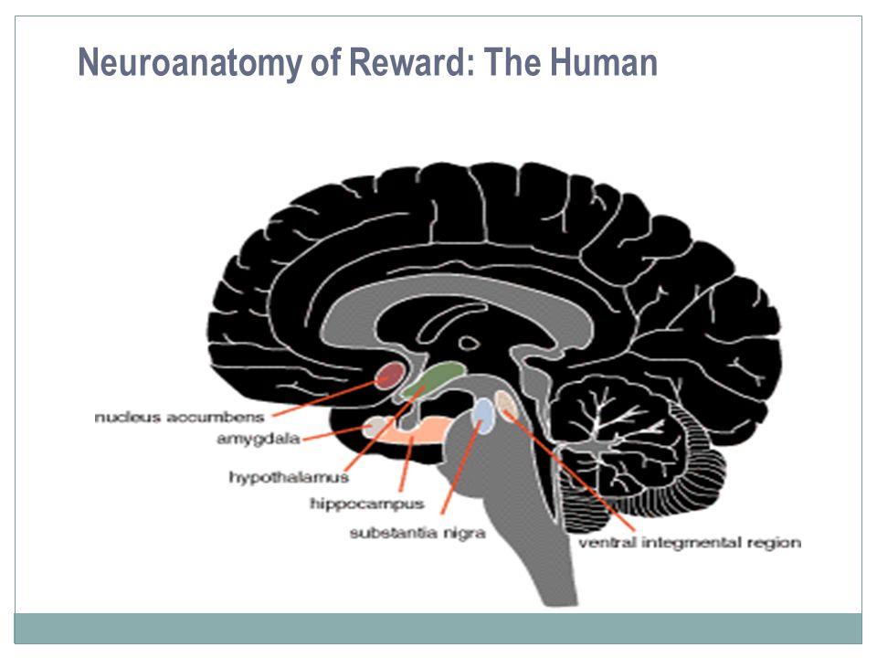 Neuroanatomy of Reward: The Human