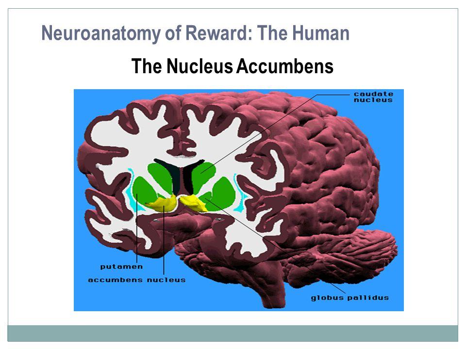 The Nucleus Accumbens