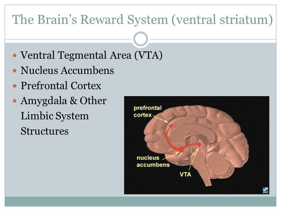 The Brain's Reward System (ventral striatum) Ventral Tegmental Area (VTA) Nucleus Accumbens Prefrontal Cortex Amygdala & Other Limbic System Structure