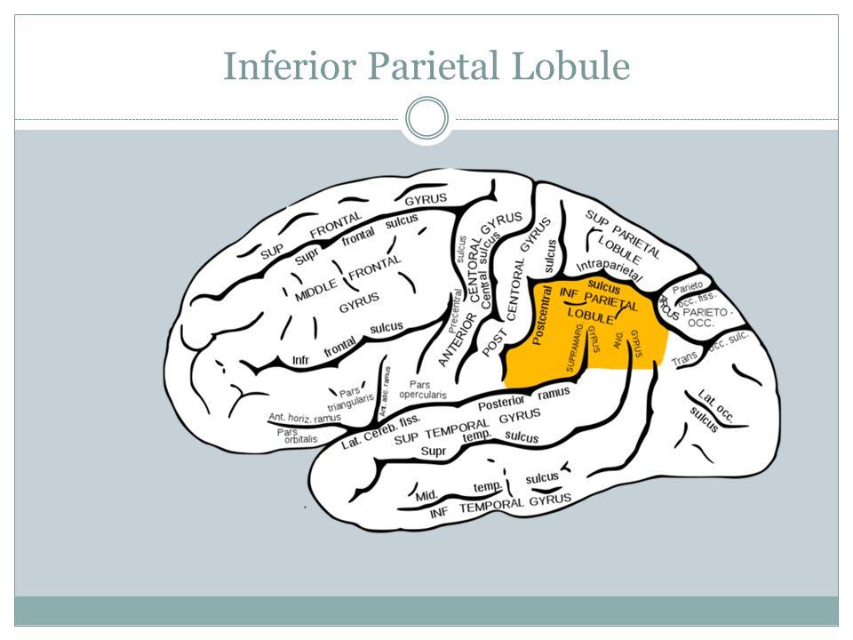 Inferior Parietal Lobule