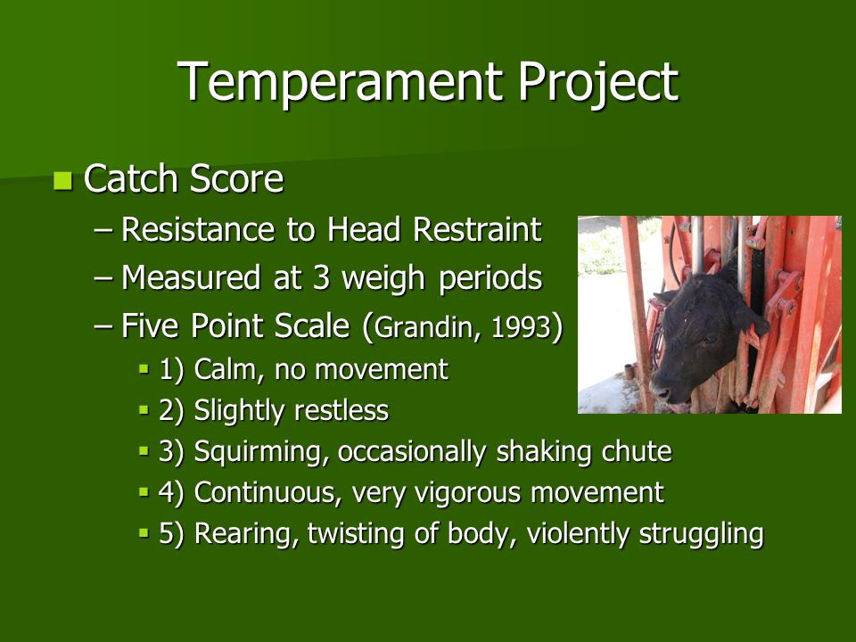 Temperament Project Catch Score Catch Score –Resistance to Head Restraint –Measured at 3 weigh periods –Five Point Scale ( Grandin, 1993 )  1) Calm,