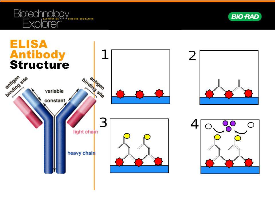 ELISA Antibody Structure