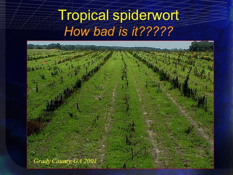 Tropical spiderwort How bad is it Grady County, GA 2001