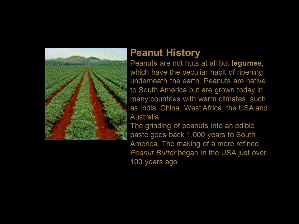 Peanut History Peanuts are not nuts at all but legumes, which have the peculiar habit of ripening underneath the earth.