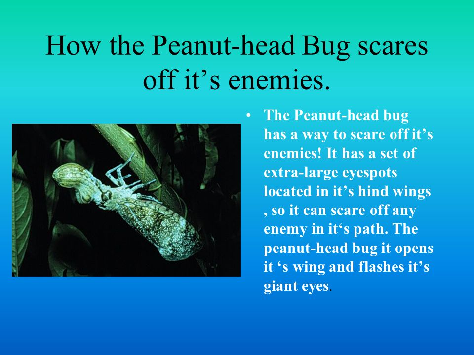 How the Peanut-head Bug scares off it's enemies.
