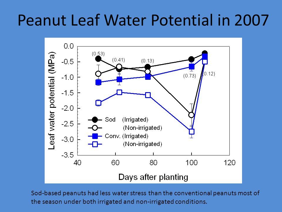 Peanut Leaf Water Potential in 2007 Sod-based peanuts had less water stress than the conventional peanuts most of the season under both irrigated and non-irrigated conditions.