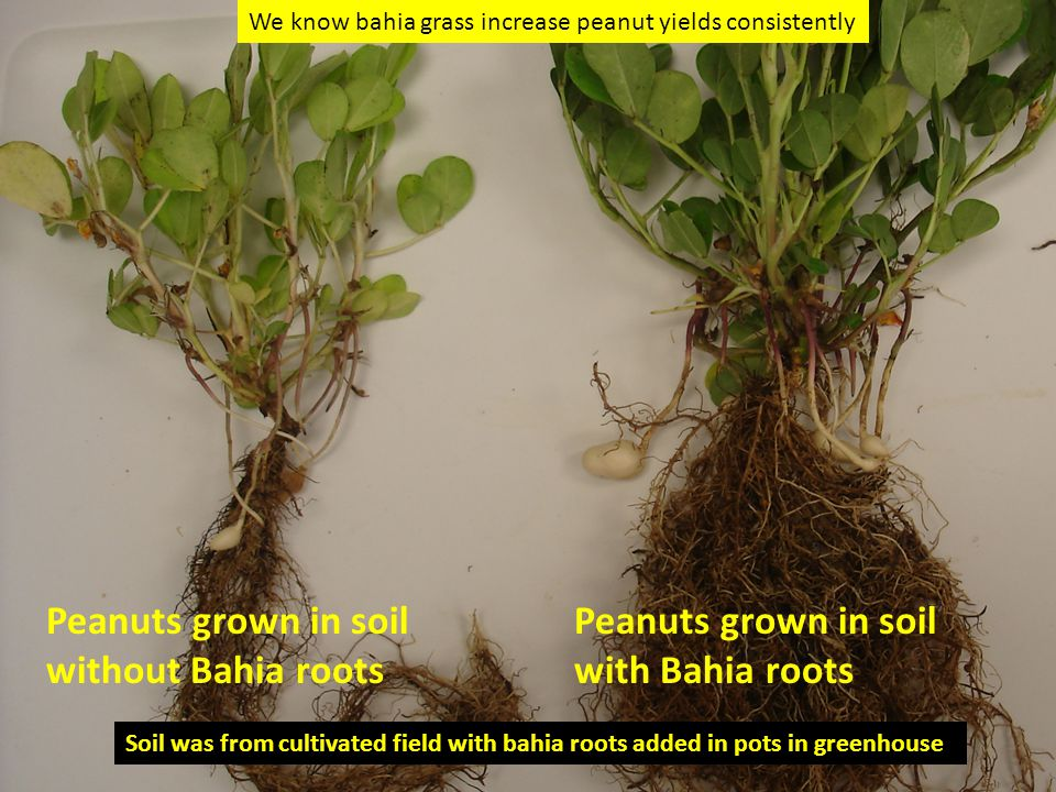 Peanuts grown in soil with Bahia roots Peanuts grown in soil without Bahia roots Soil was from cultivated field with bahia roots added in pots in greenhouse We know bahia grass increase peanut yields consistently