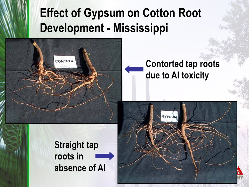 Contorted tap roots due to Al toxicity Straight tap roots in absence of Al Effect of Gypsum on Cotton Root Development - Mississippi