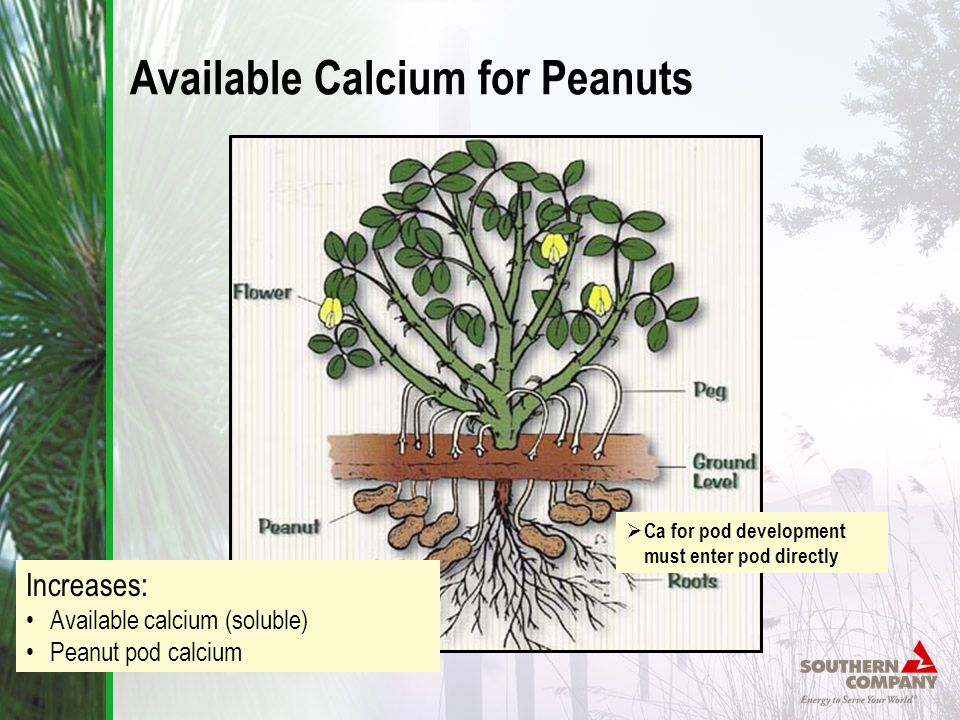  Ca for pod development must enter pod directly Available Calcium for Peanuts Increases: Available calcium (soluble) Peanut pod calcium