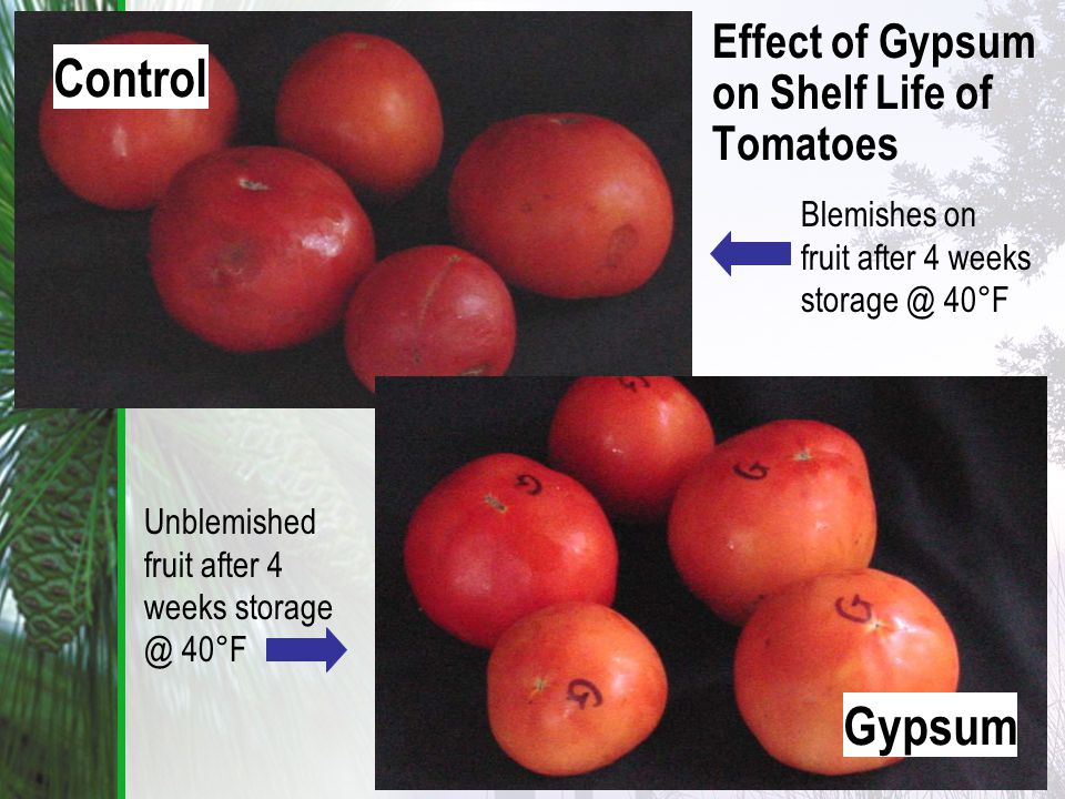 Control Gypsum Effect of Gypsum on Shelf Life of Tomatoes Blemishes on fruit after 4 weeks storage @ 40°F Unblemished fruit after 4 weeks storage @ 40°F