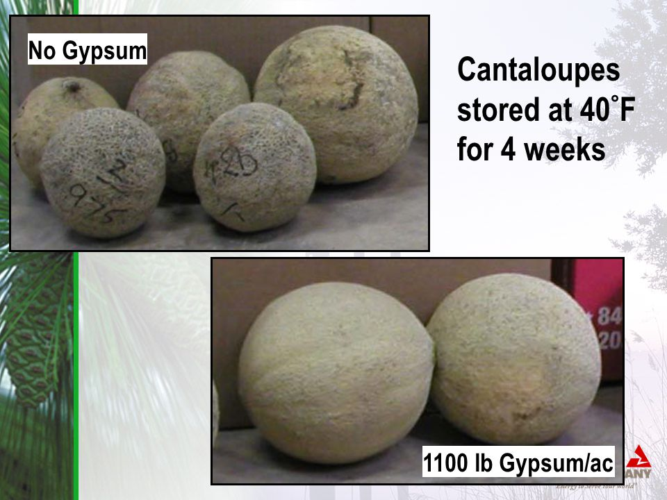 Cantaloupes stored at 40 ° F for 4 weeks No Gypsum 1100 lb Gypsum/ac