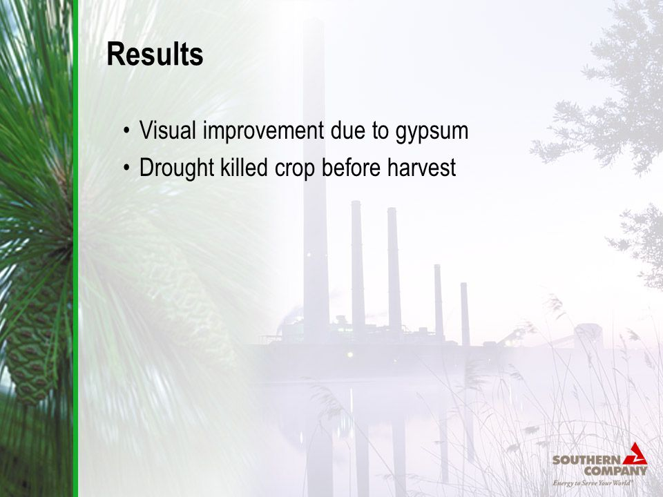 Results Visual improvement due to gypsum Drought killed crop before harvest