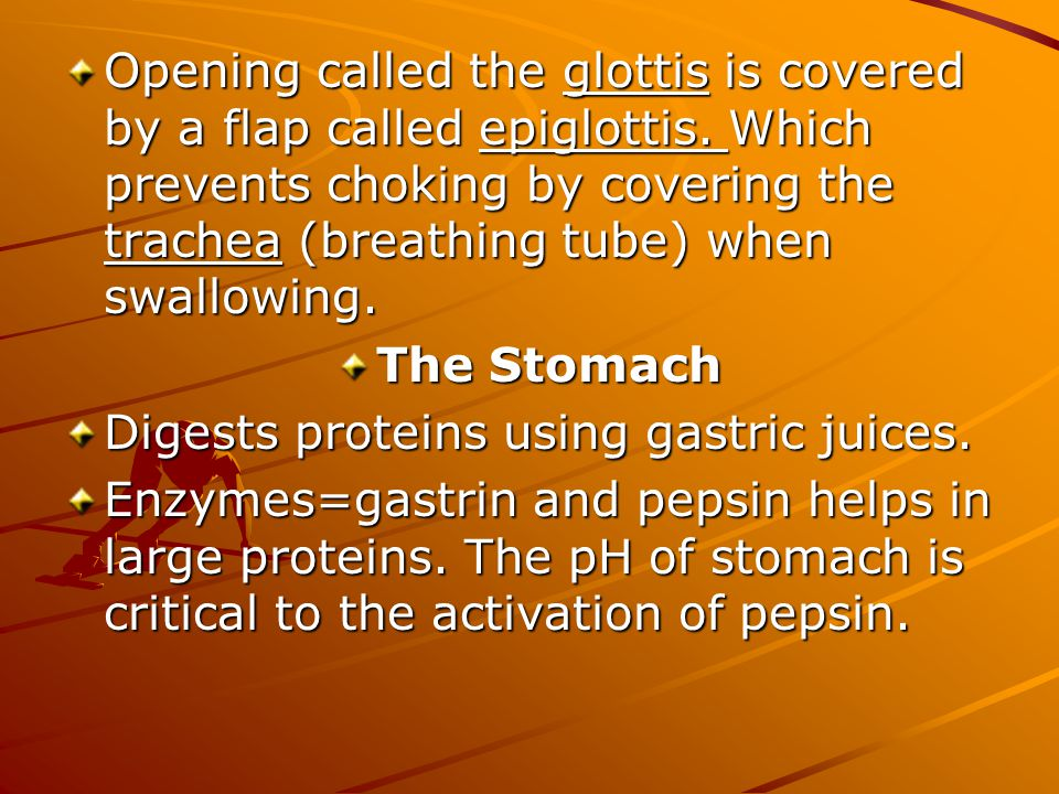 Opening called the glottis is covered by a flap called epiglottis.