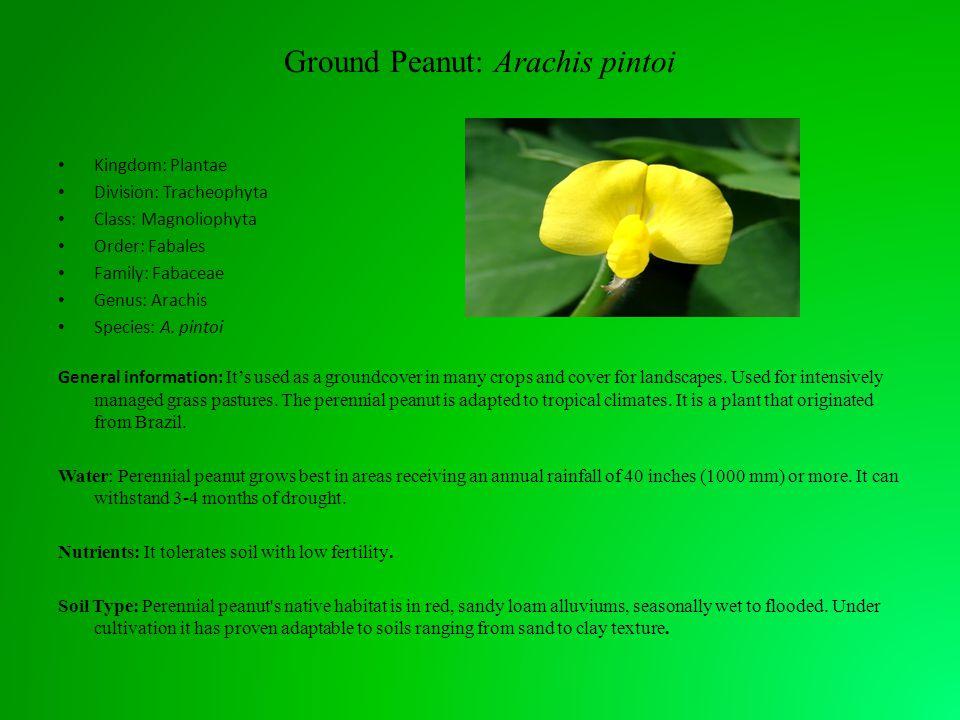 Ground Peanut: Arachis pintoi Kingdom: Plantae Division: Tracheophyta Class: Magnoliophyta Order: Fabales Family: Fabaceae Genus: Arachis Species: A.
